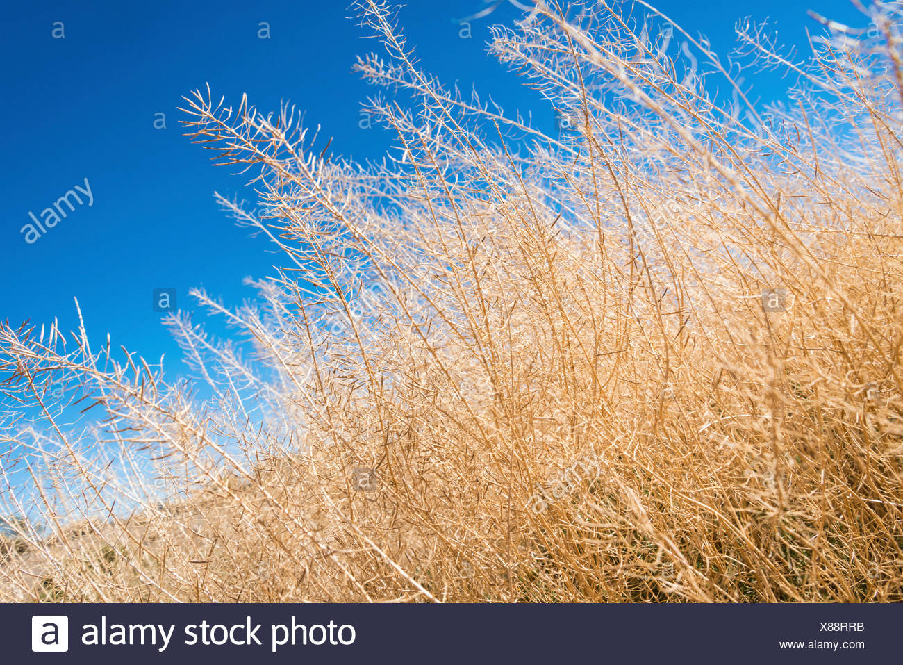 Dried up shrubbery, drought, dry season - Stock Image