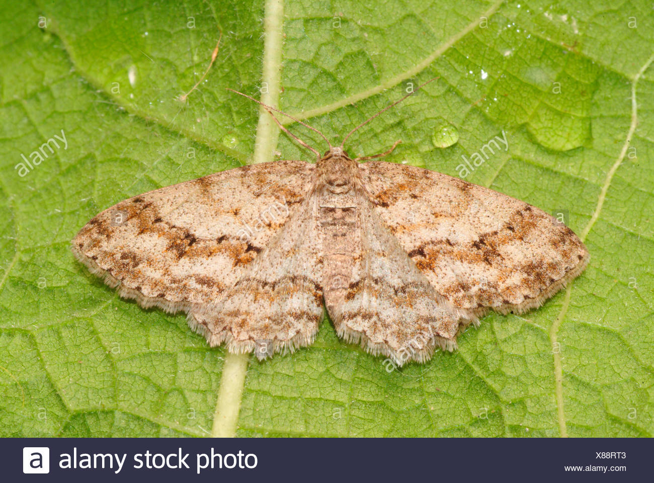 larch looper, blueberry lopper, fir looper, plum looper (Ectropis crepuscularia, Ectropis bistortata), on a leaf, Germany - Stock Image