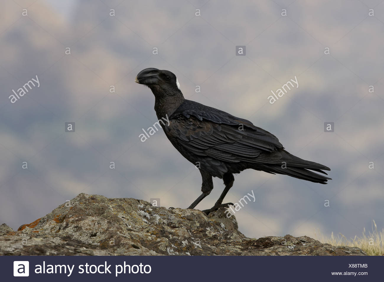 Thick-billed Raven (Corvus crassirostris) adult, standing on rock, Simien Mountains, Ethiopia - Stock Image
