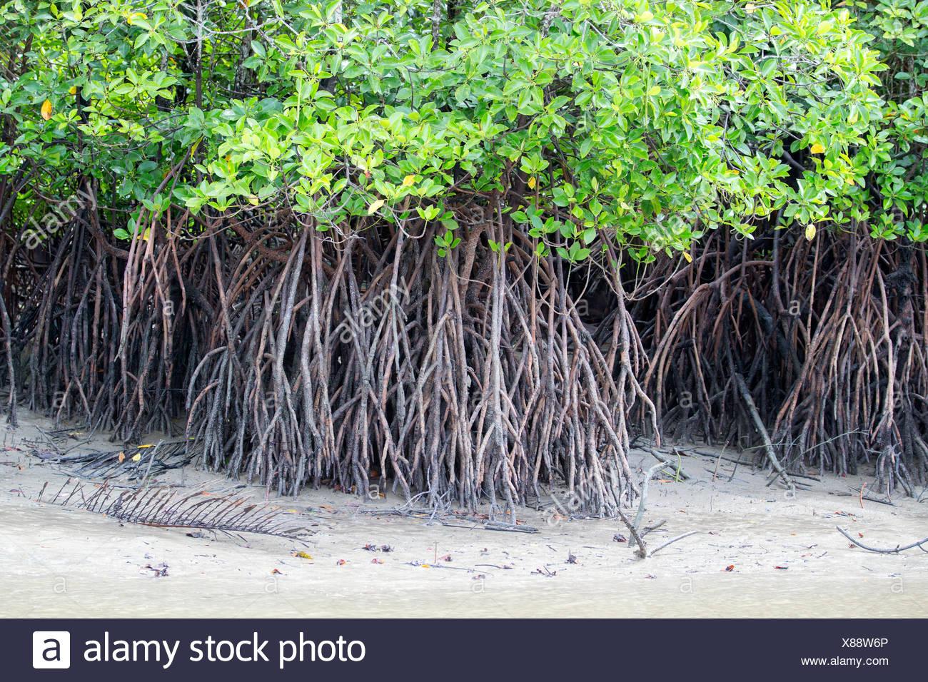 Mangroves along the Salak River - Sarawak Borneo Malaysia - Stock Image