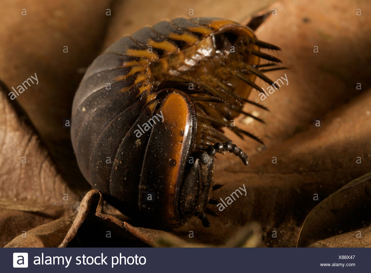 Close up of a giant pill miliepede opening up. - Stock Image