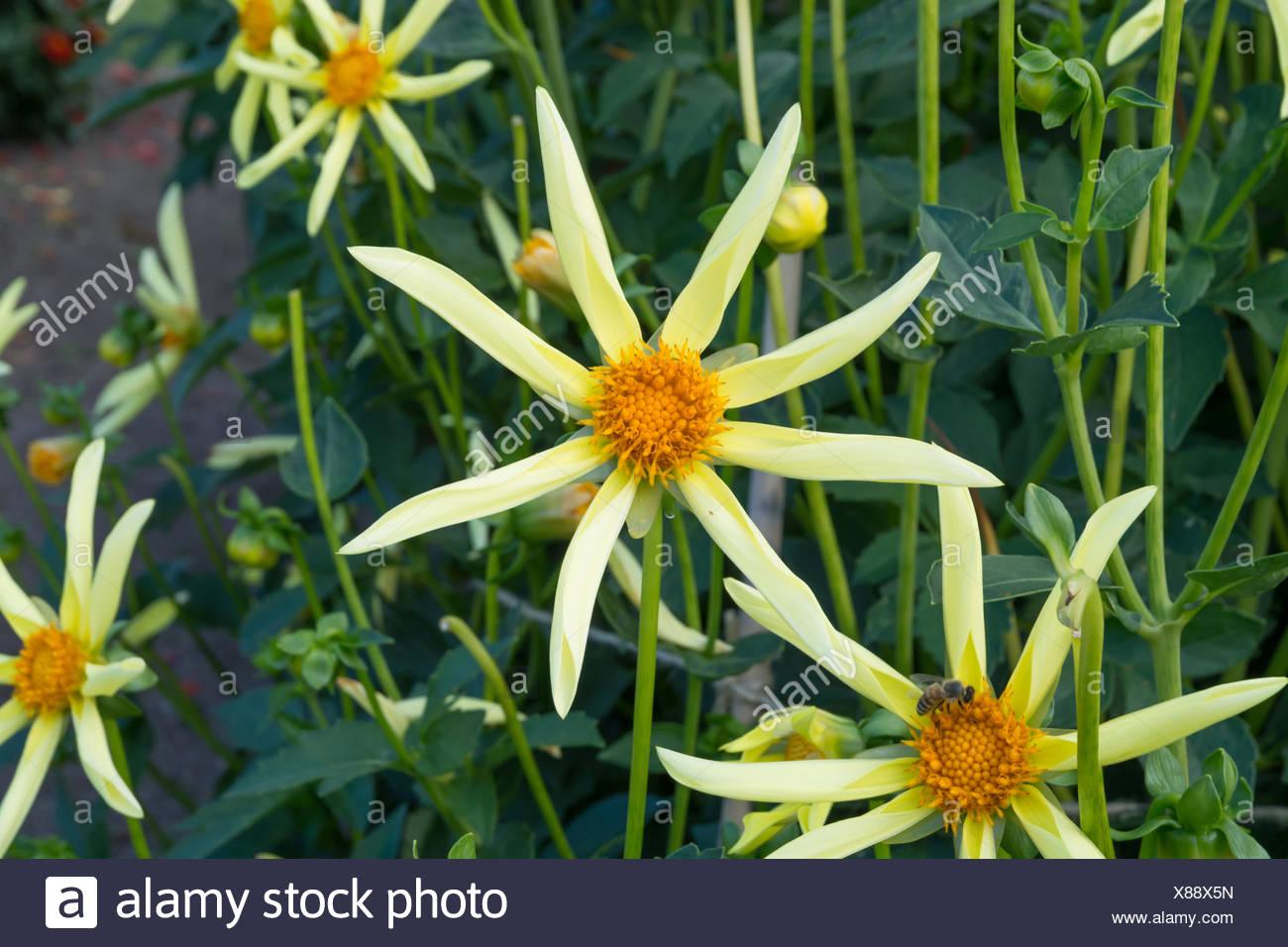 Yellow Star Like Dahlia Flowers Stock Photo 280479297 Alamy