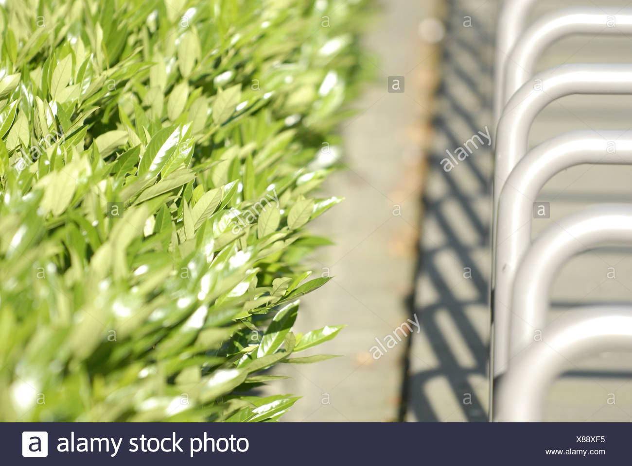 bicycle stand with Cotoneaster hedge - Stock Image