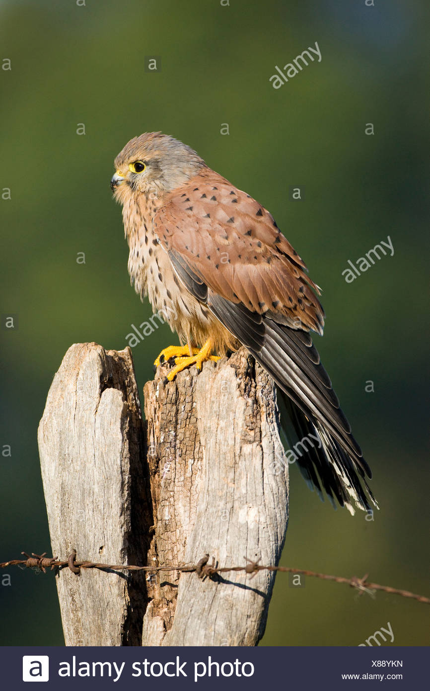 Kestrel (Falco tinnunculus), young male on a fence post, Vulcan Eifel, Rhineland-Palatinate, Germany, Europe - Stock Image