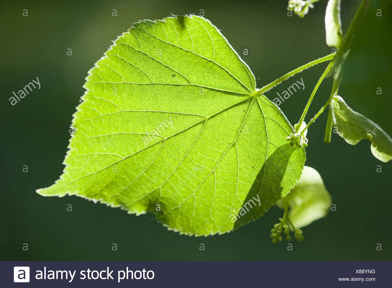 large-leaved linden, tilia platyphyllos Stock Photo