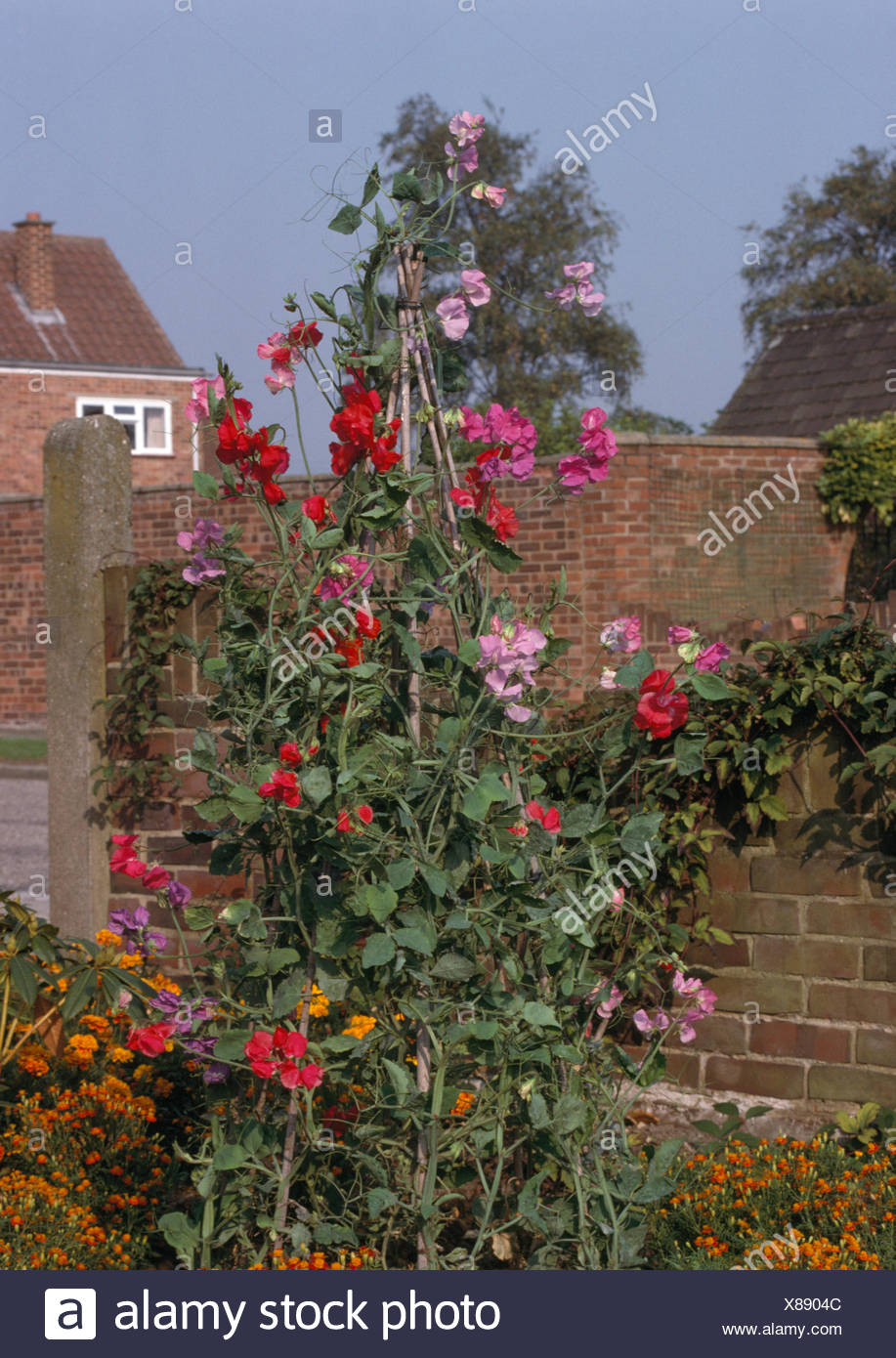 Pink and red sweet peas on a cane wigwam in seventies front garden ...