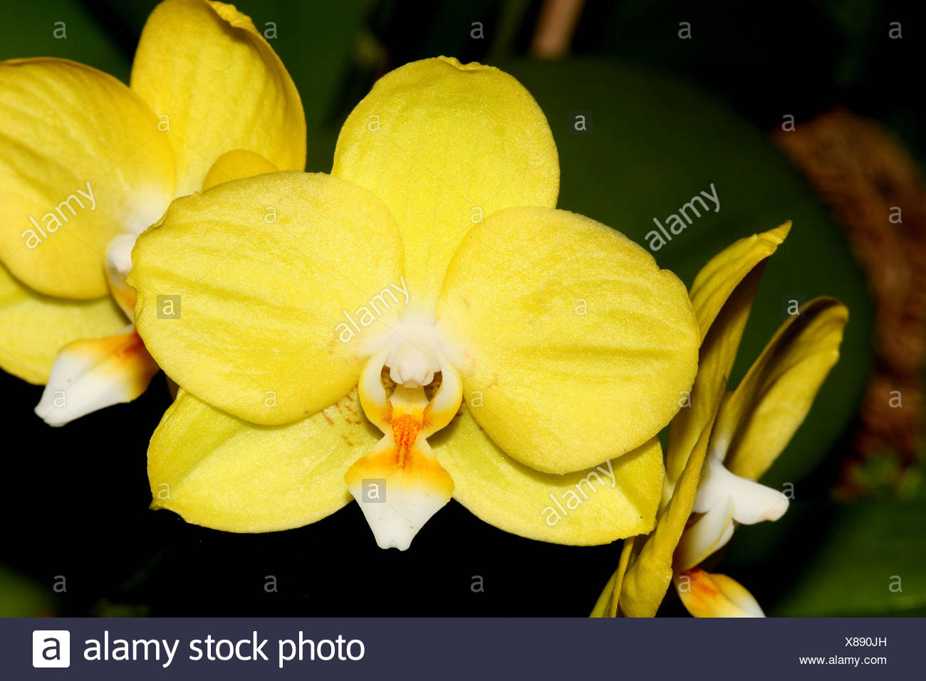 Sogo Orchid Stock Photos & Sogo Orchid Stock Images - Alamy