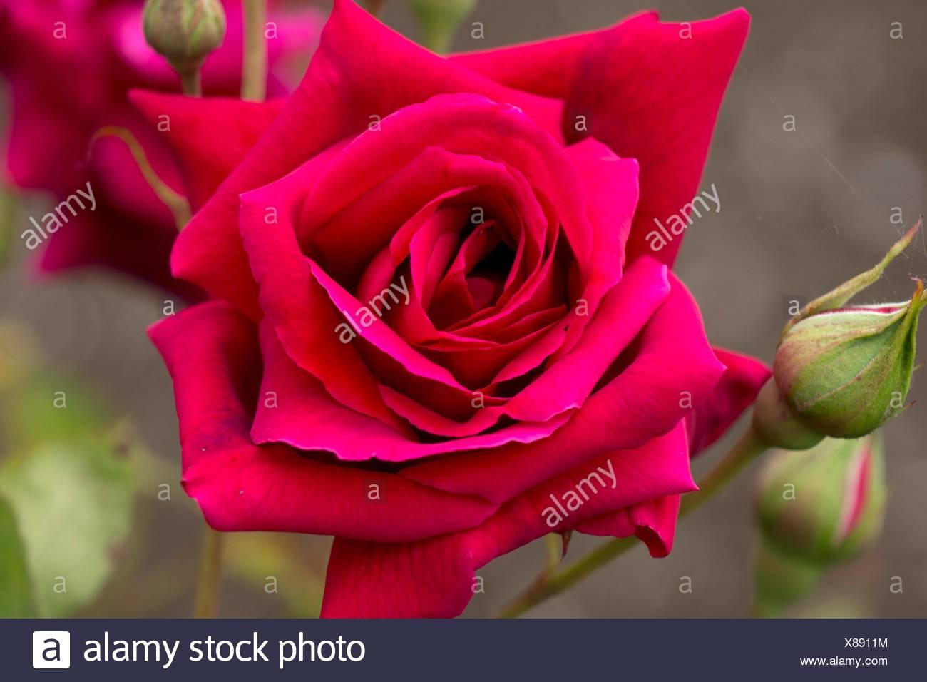 Crimson Glory rose, Heirloom Roses, St Paul, Oregon. - Stock Image
