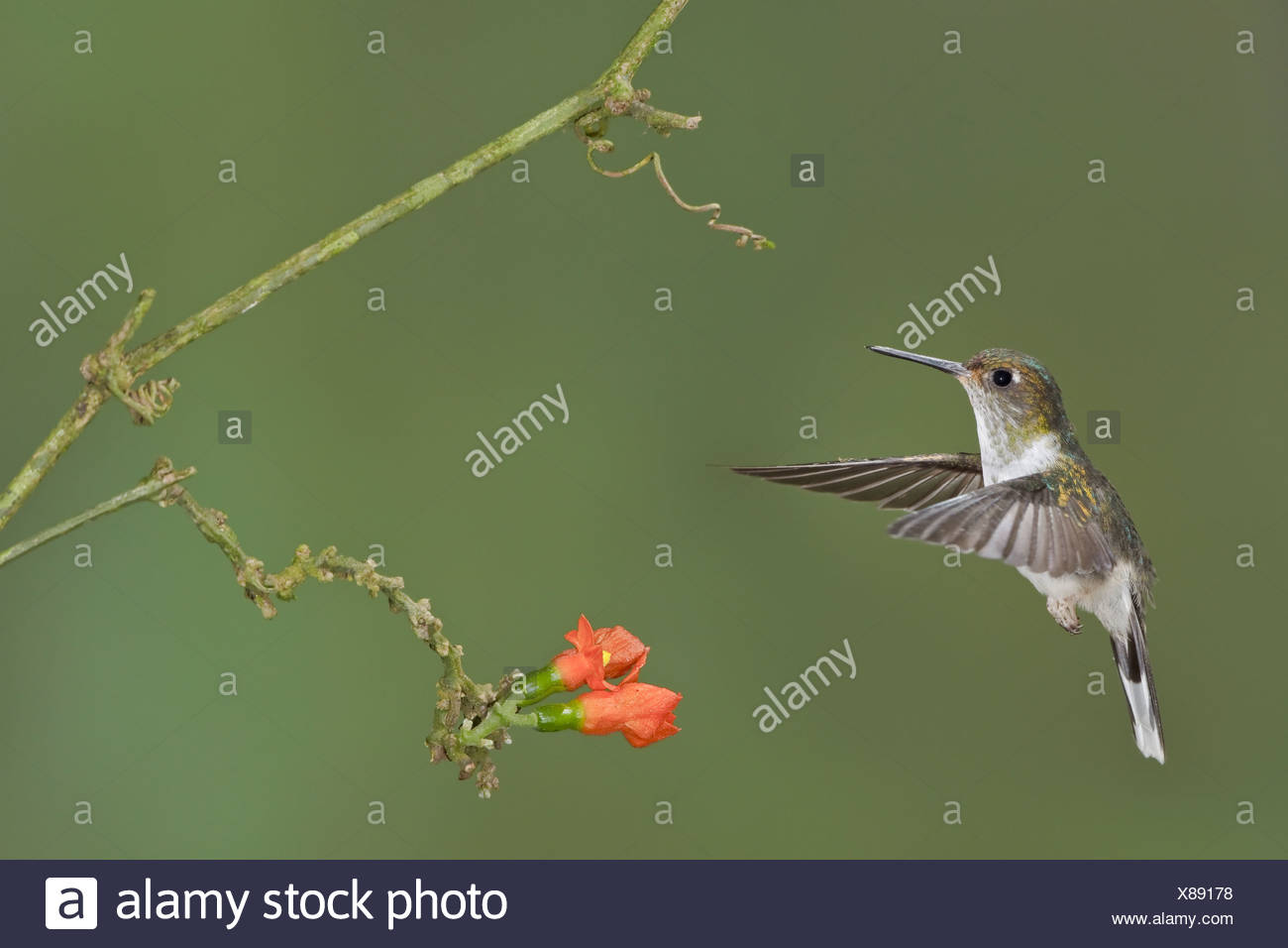 Ecuadorian Piedtail (Phlogophilus hemileucurus) feeding at a flower while flying at the Wildsumaco reserve in eastern Ecuador. - Stock Image