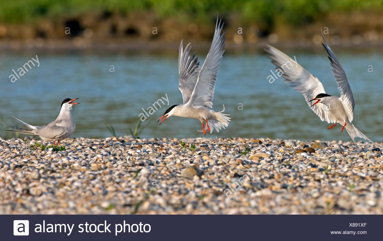 Common tern (Sterna hirundo) breeding colony at the North Sea, Texel, Netherlands - Stock Image