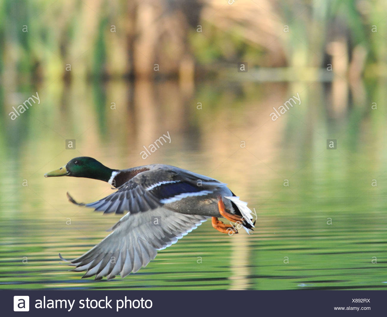 A male mallard flying above the water. - Stock Image