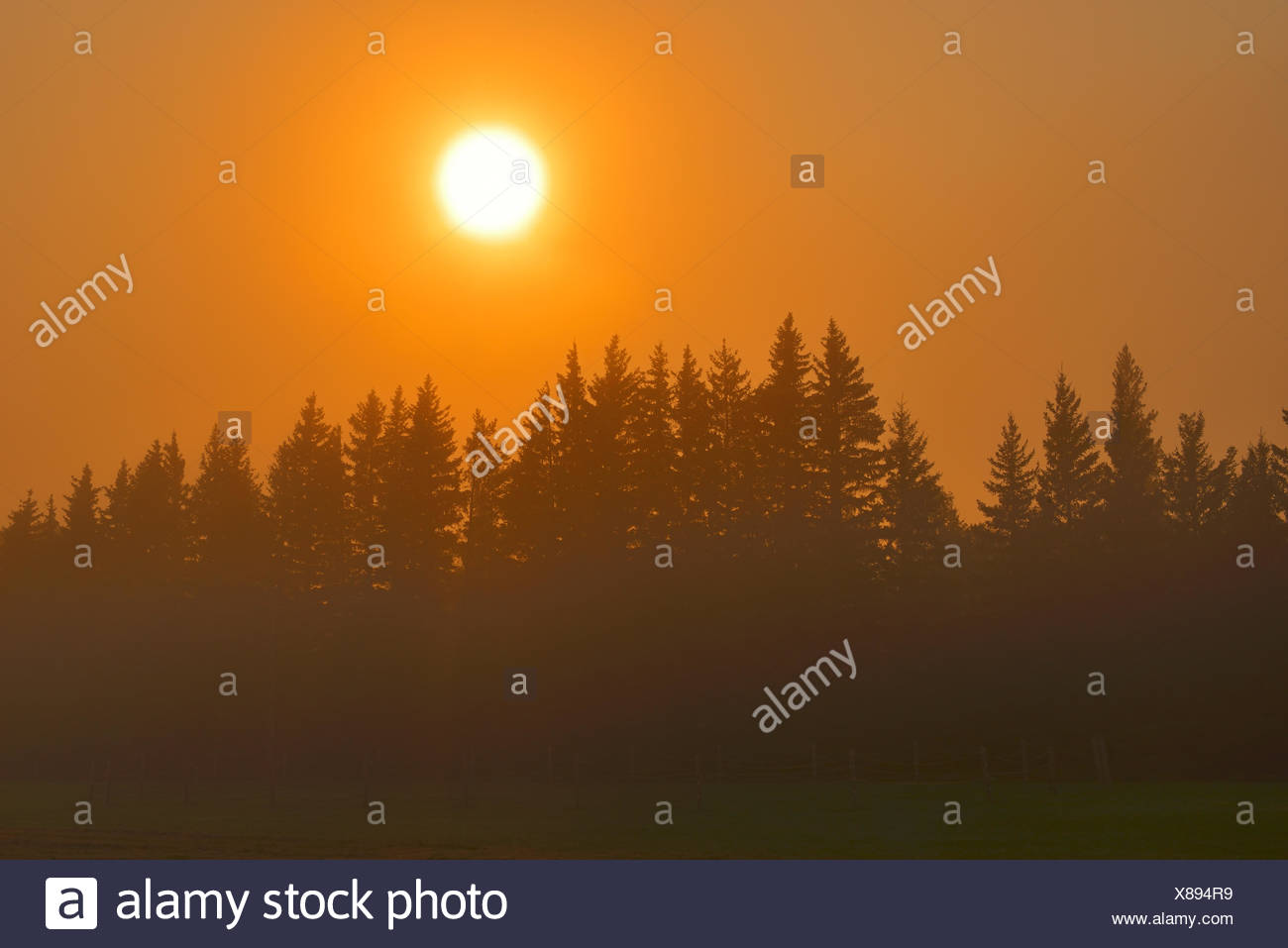 Morning fog and evergreen trees trees; coniferous; shelterbelt Argyle Manitoba Canada - Stock Image