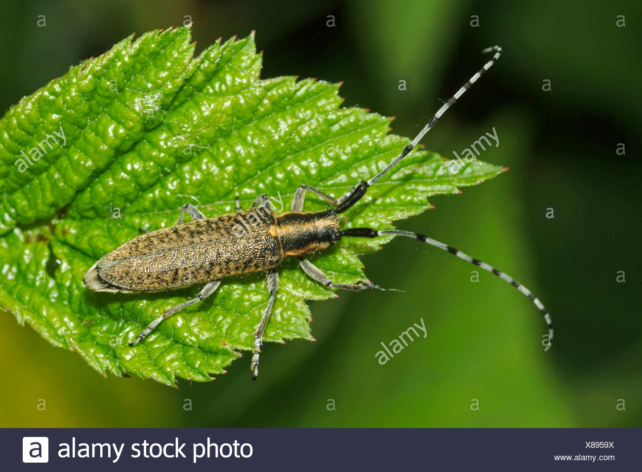 Thistle longhorn beetle, Flat-faces longhorn, Thistle longhorn beetle, Golden-bloomed Grey Longhorn (Agapanthia villosoviridescens), on a leaf, Germany - Stock Image