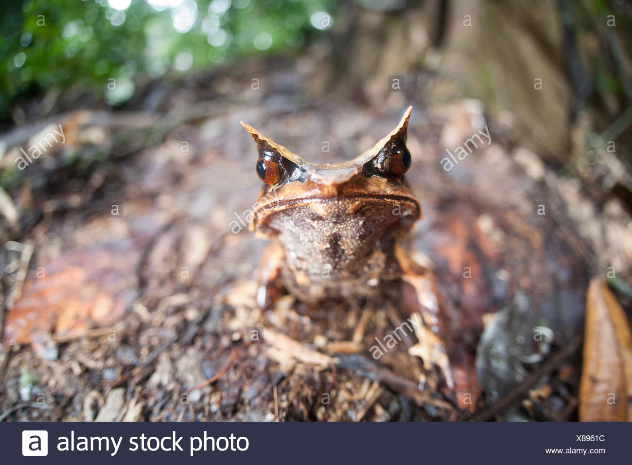 A Bornean horned frog, Megophrys nasuta, on the forest floor in Borneo. - Stock Image