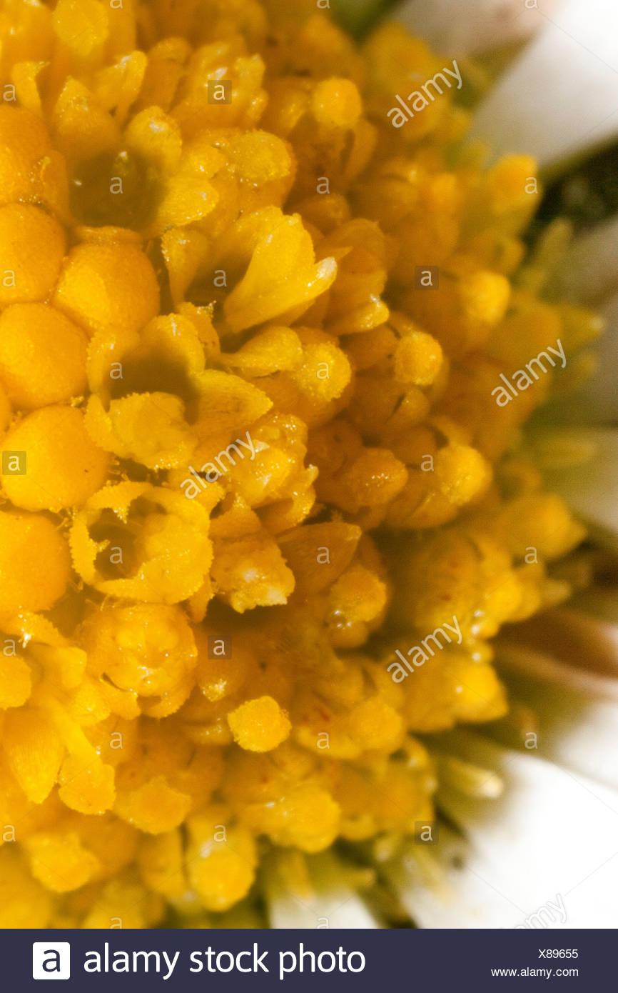 common daisy, lawn daisy, English daisy (Bellis perennis), macro shot of tubular flowers - Stock Image