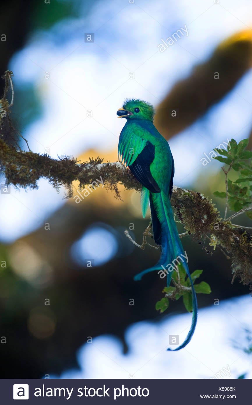 Resplendent Quetzal Pharomachrus mocinno Central Highlands Costa Rica - Stock Image
