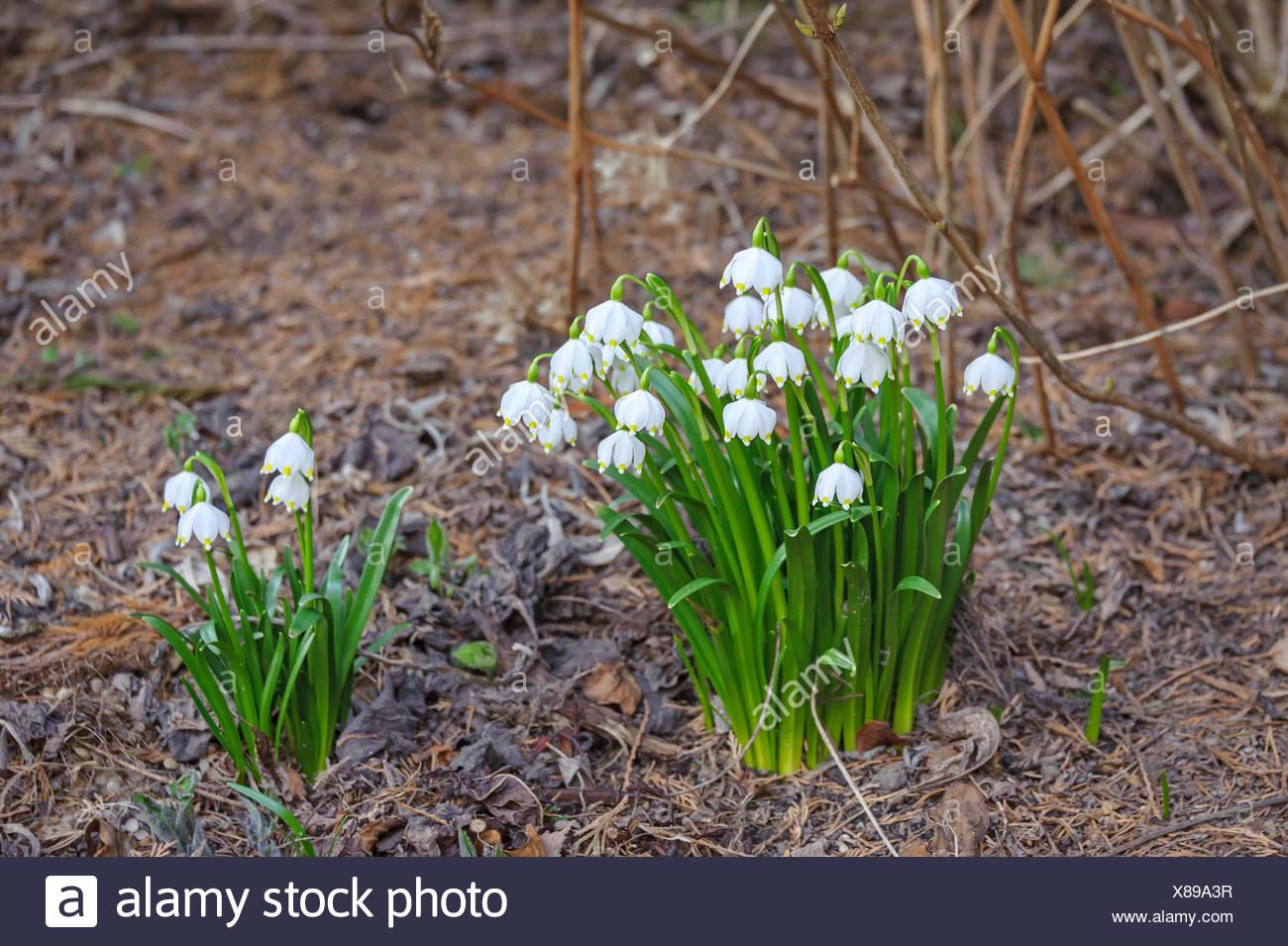 spring snowflake (Leucojum vernum), blooming, Germany, Saxony - Stock Image