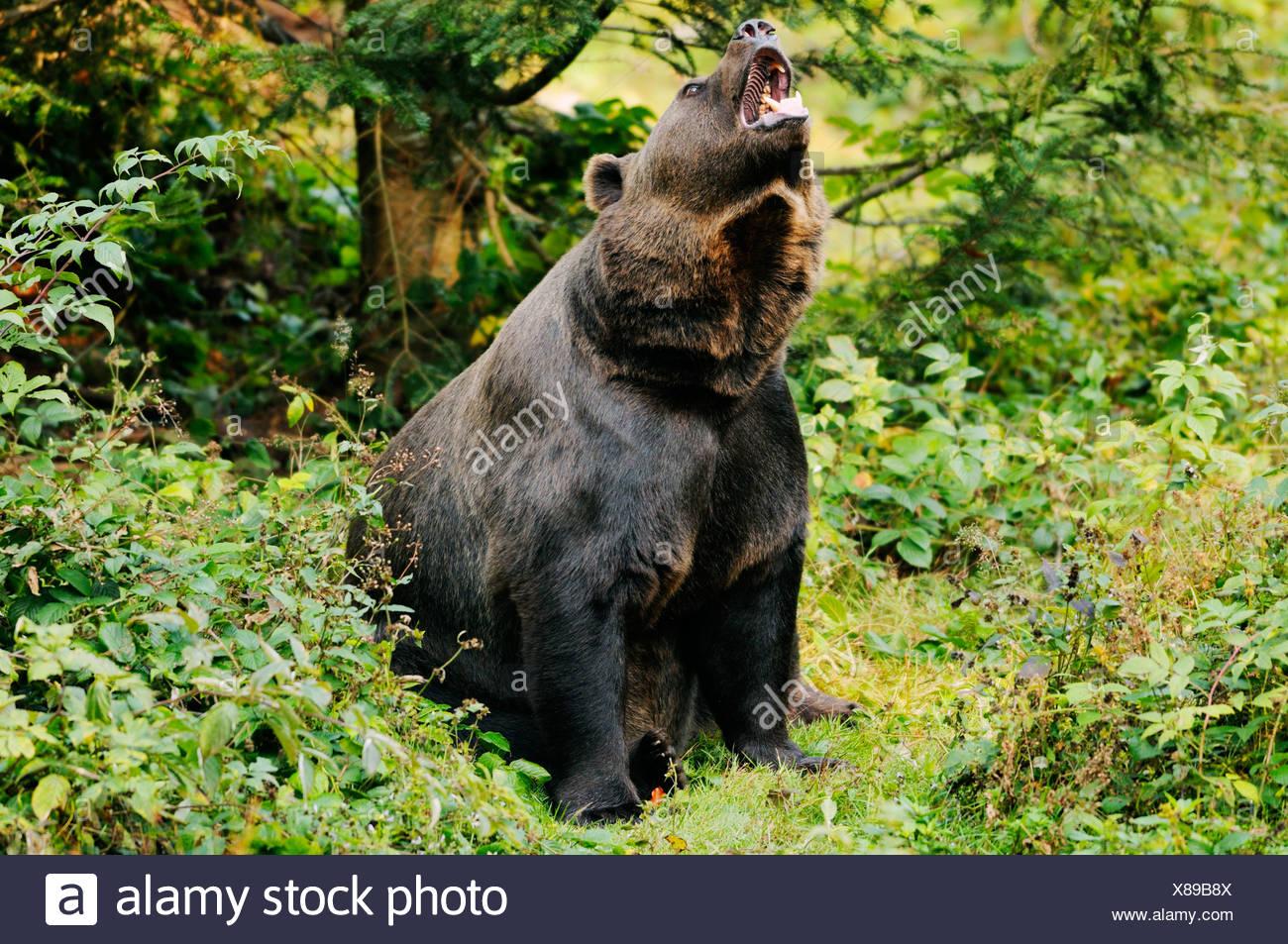 brown bear - growling / Ursus arctos - Stock Image