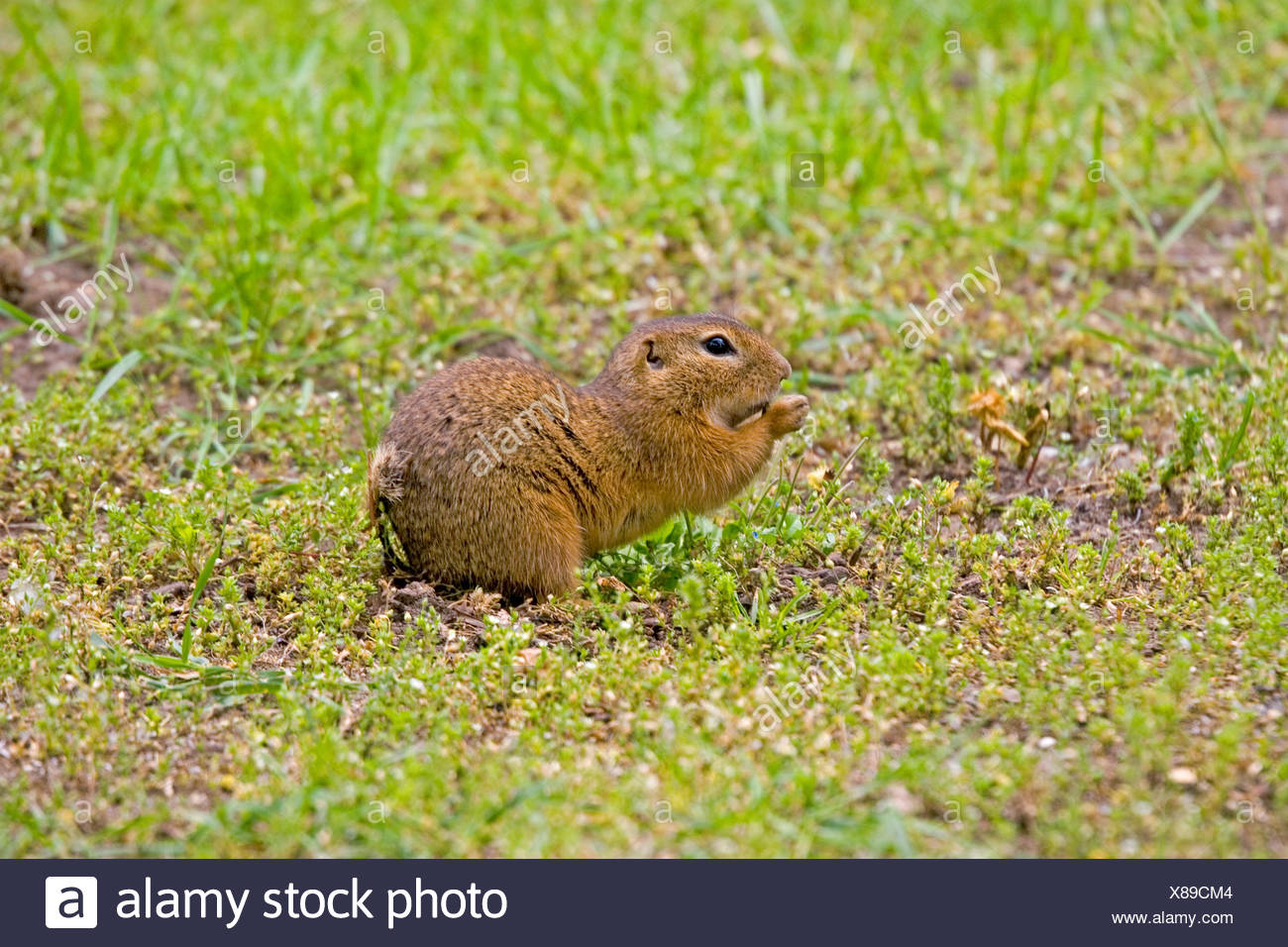 European ground squirrel, European suslik, European souslik (Citellus citellus, Spermophilus citellus), on the feed, Germany Stock Photo