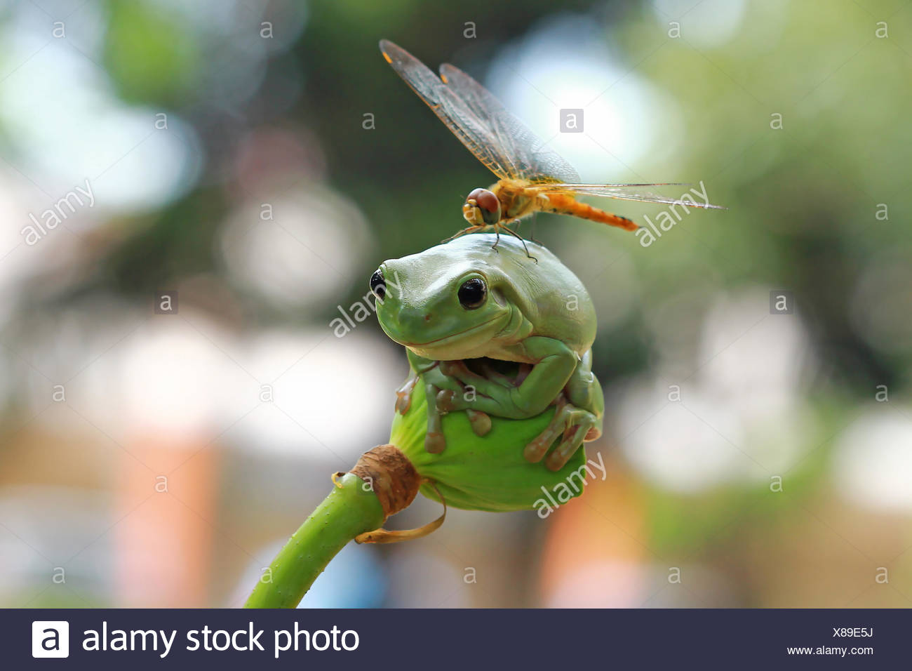 Dragonfly sitting on dumpy frog, Indonesia - Stock Image