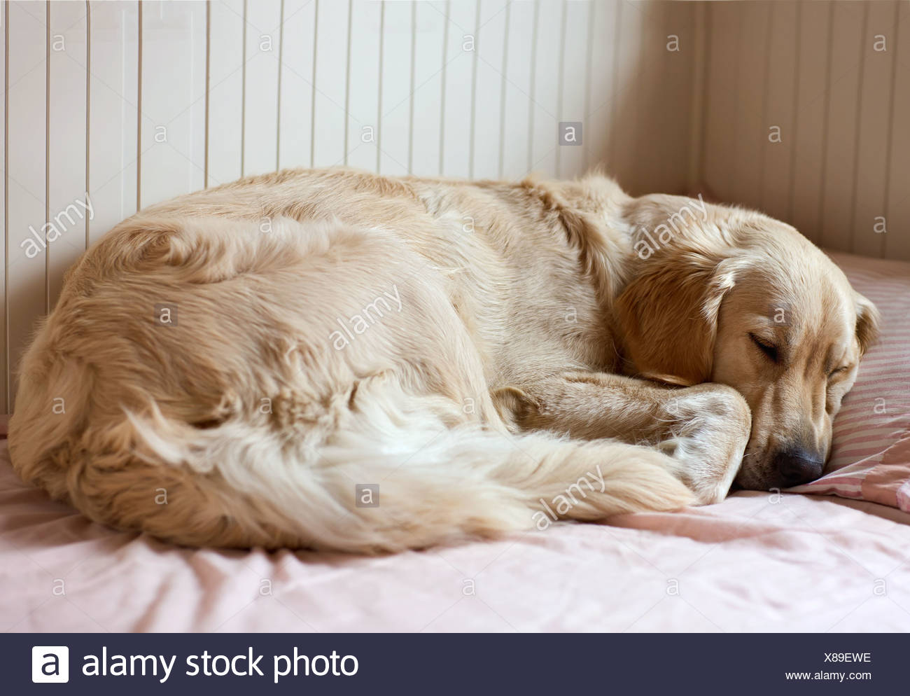 Dog sleeping on the bed - golden retriever - Stock Image