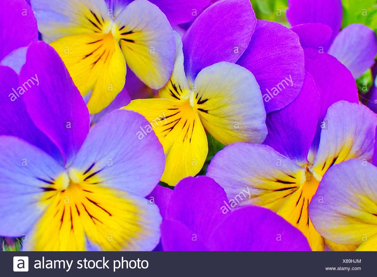 horned pansy,viola cornuta - Stock Image