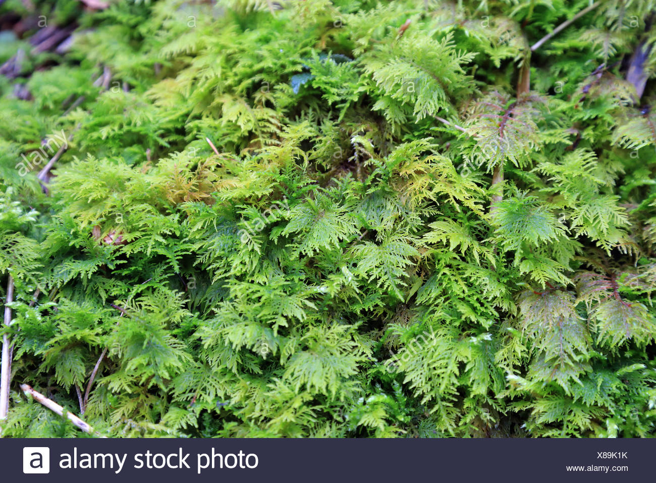 Moss on humid forest soil - Stock Image