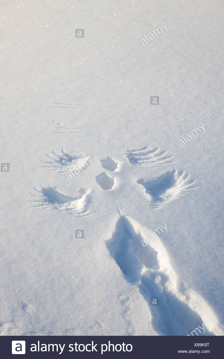 A distinctive set of wing and foot imprints are left by a willow ptarmigan as it takes flight from fresh snow - Stock Image