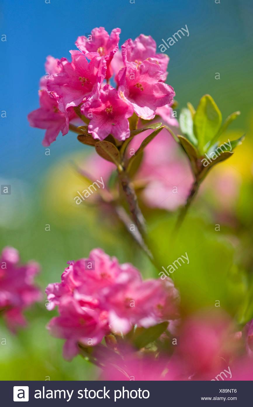 rust-leaved alpine rose (Rhododendron ferrugineum), blooming, Switzerland - Stock Image
