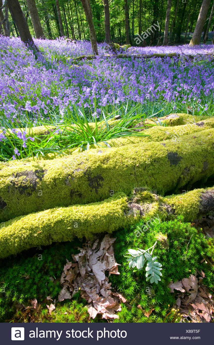 Bluebells in spring woodland Ambleside Cumbria UK Stock Photo