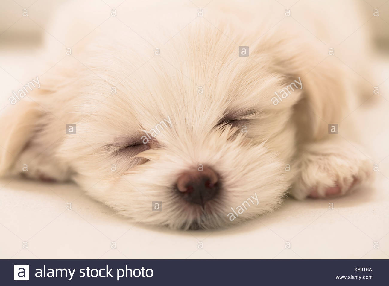 Close Up Of A Maltese Puppy Sleeping Stock Photo Alamy
