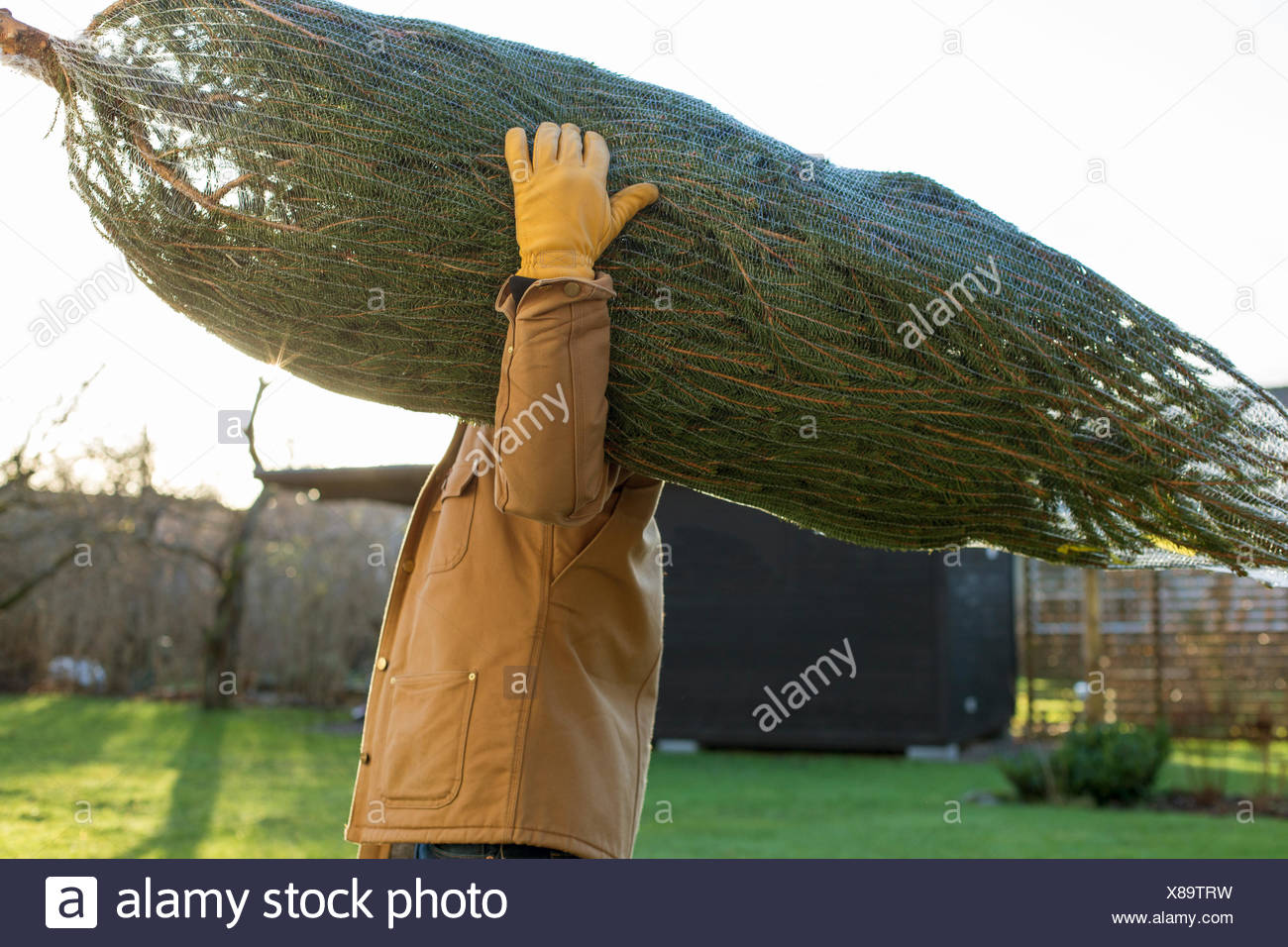 Sweden, Vastergotland, Side view of man carrying christmas tree - Stock Image
