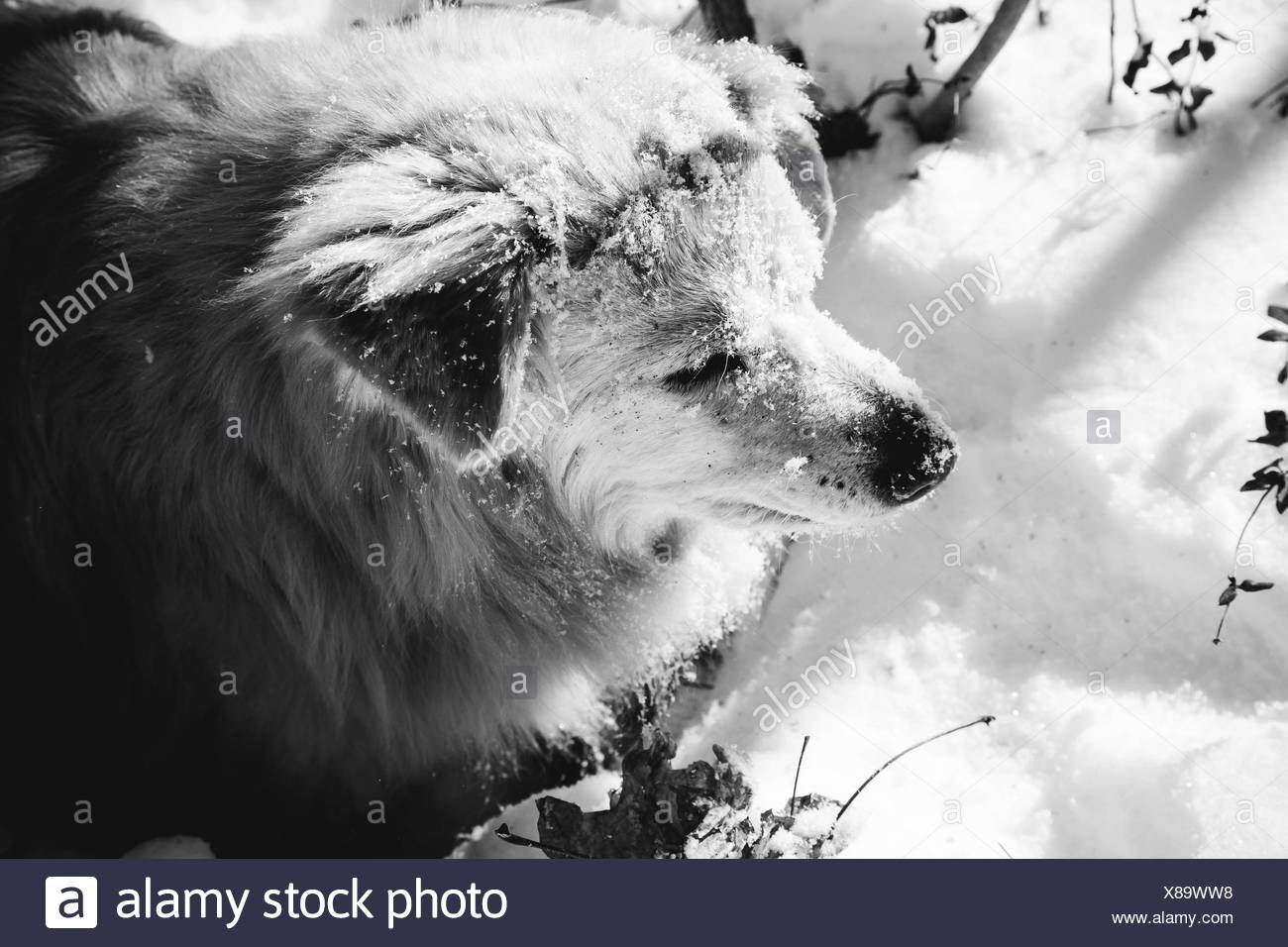 Close-Up Of Dog Standing On Snow Stock Photo
