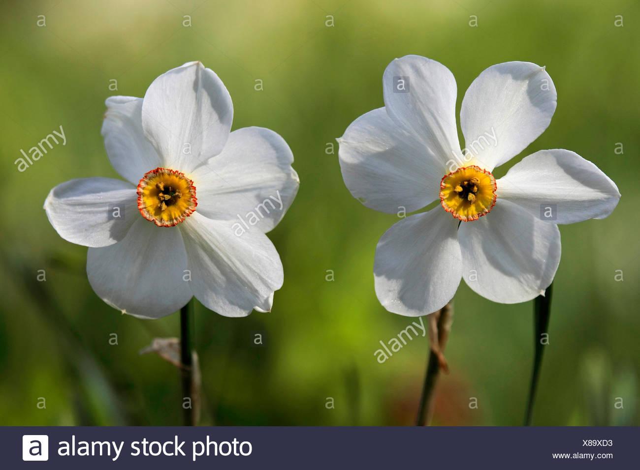 poet's narcissus (Narcissus poeticus), flowers - Stock Image