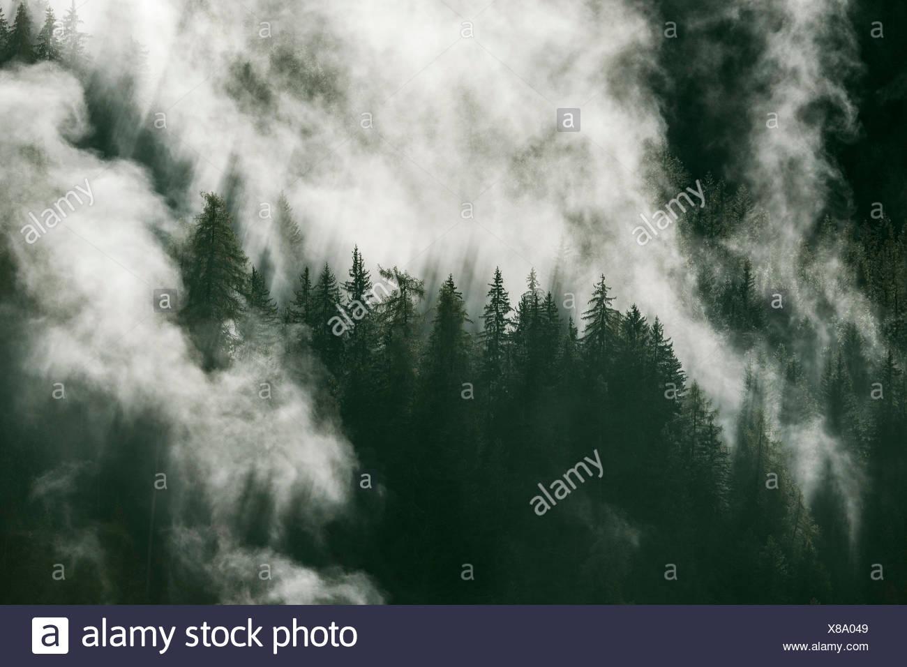 Waft of mist over forest of coniferous trees, coniferous forest, Prägraten am Großvenediger, Virgental, East Tyrol, Austria - Stock Image
