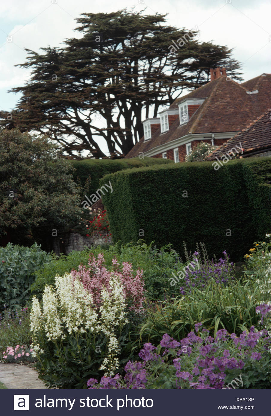 Blue geraniums and white perennials in border in garden with a clipped hedge and a cedar tree Stock Photo