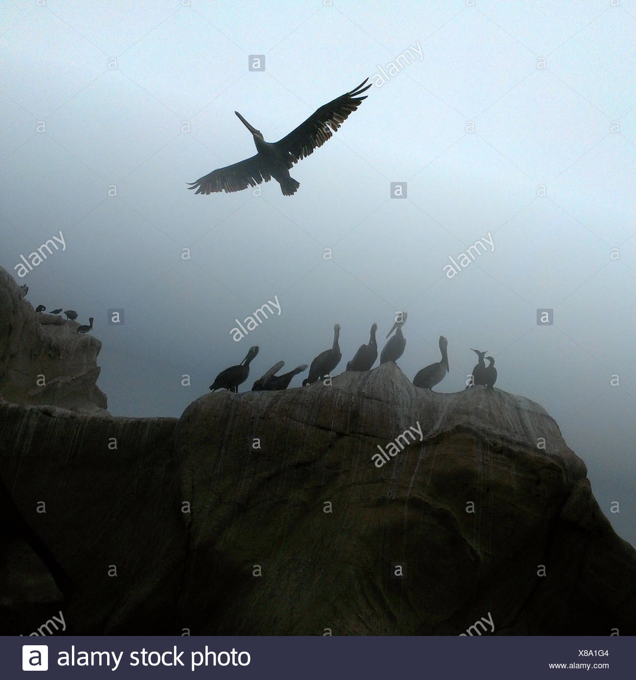 Pelicans in mist, California, America, USA - Stock Image