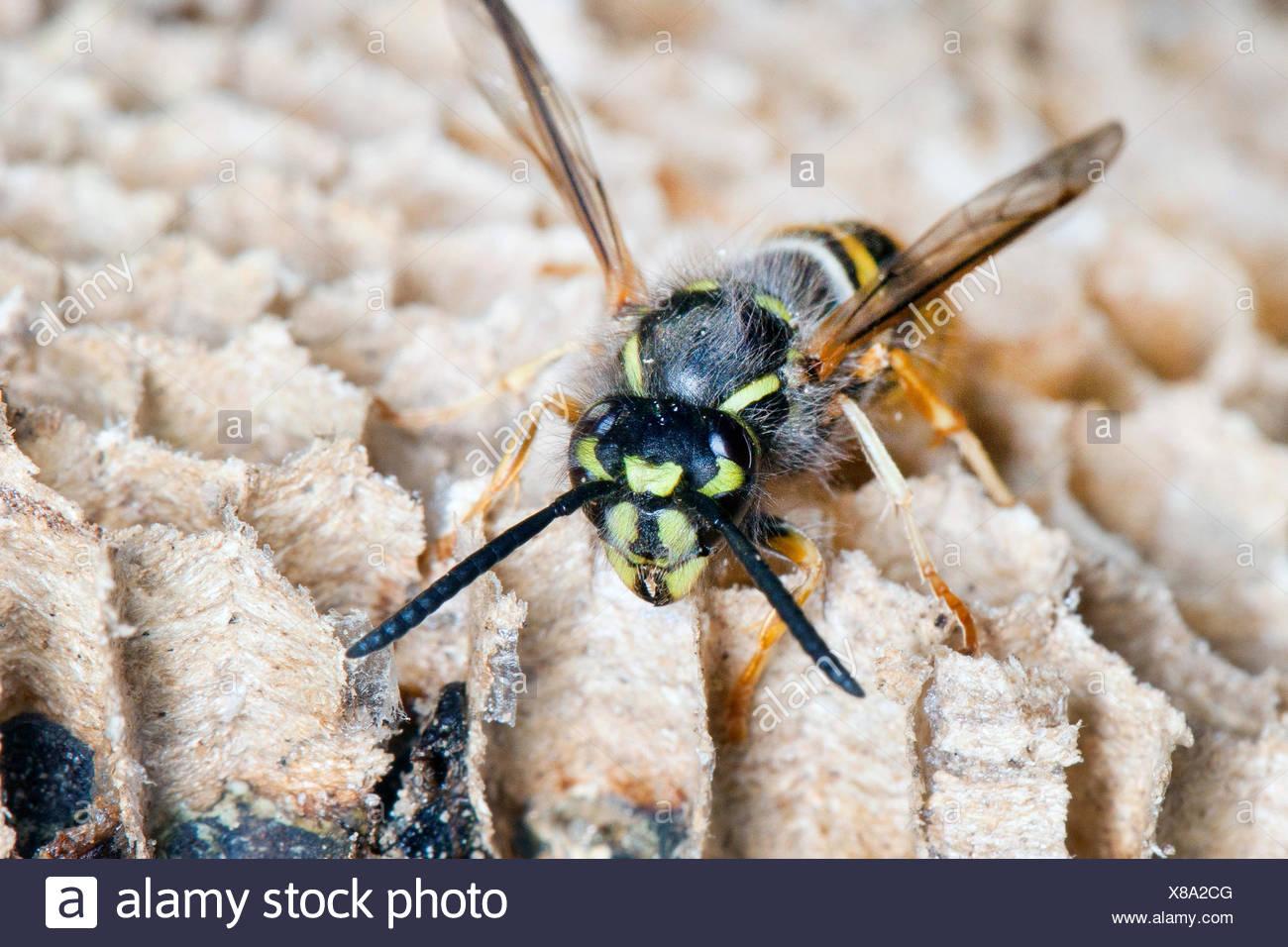 common wasp (Vespula vulgaris, Paravespula vulgaris), wasp at the wasps nest, Germany - Stock Image