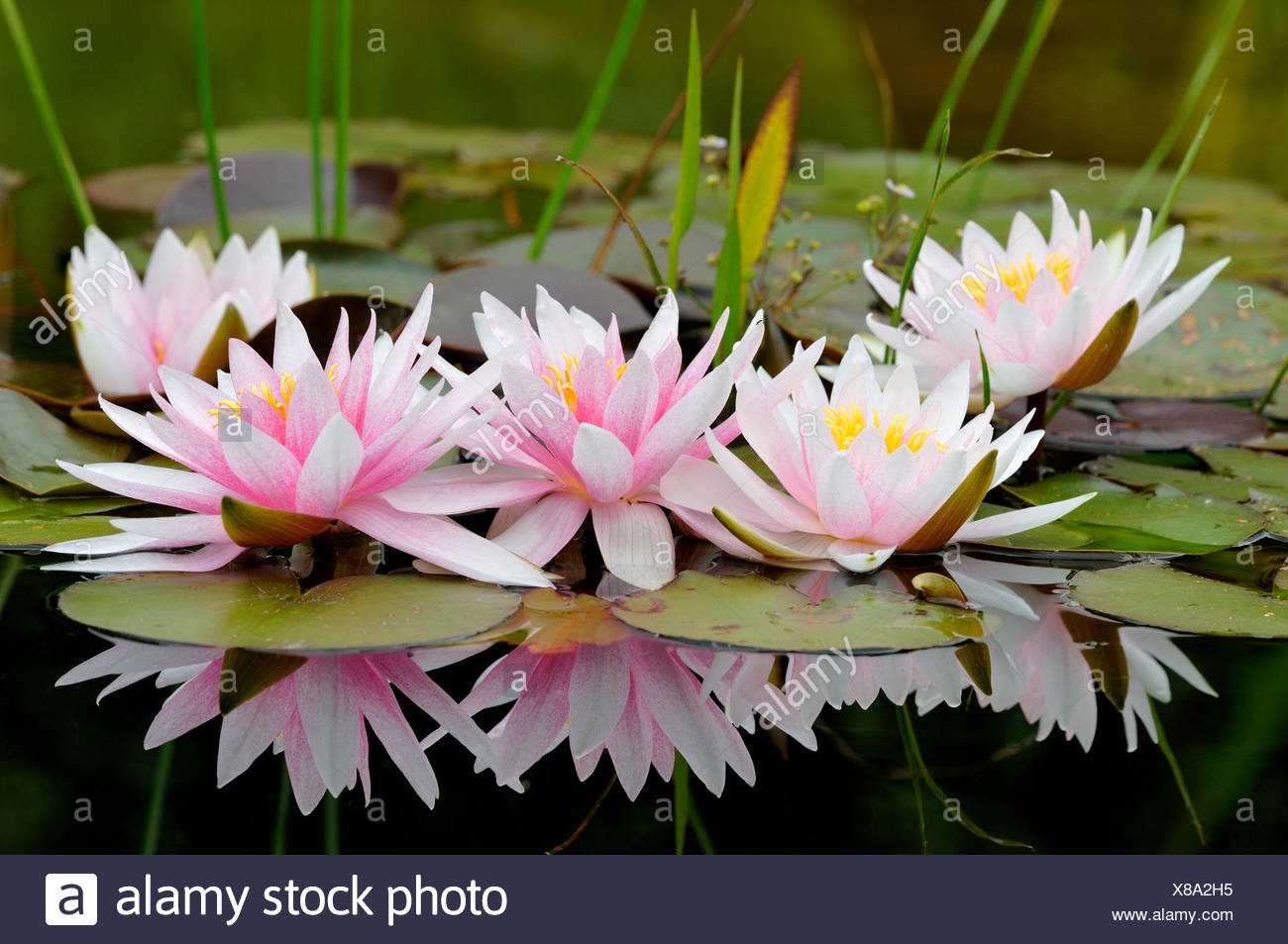 Pinky white water lilies (Nymphaea sp.) with reflection in the water, North Rhine-Westphalia, Germany - Stock Image