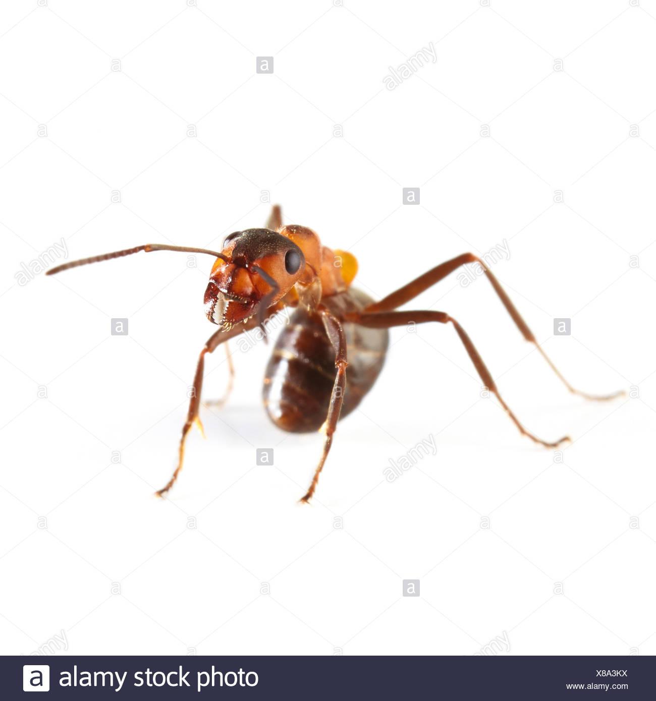 Wood ant - Stock Image