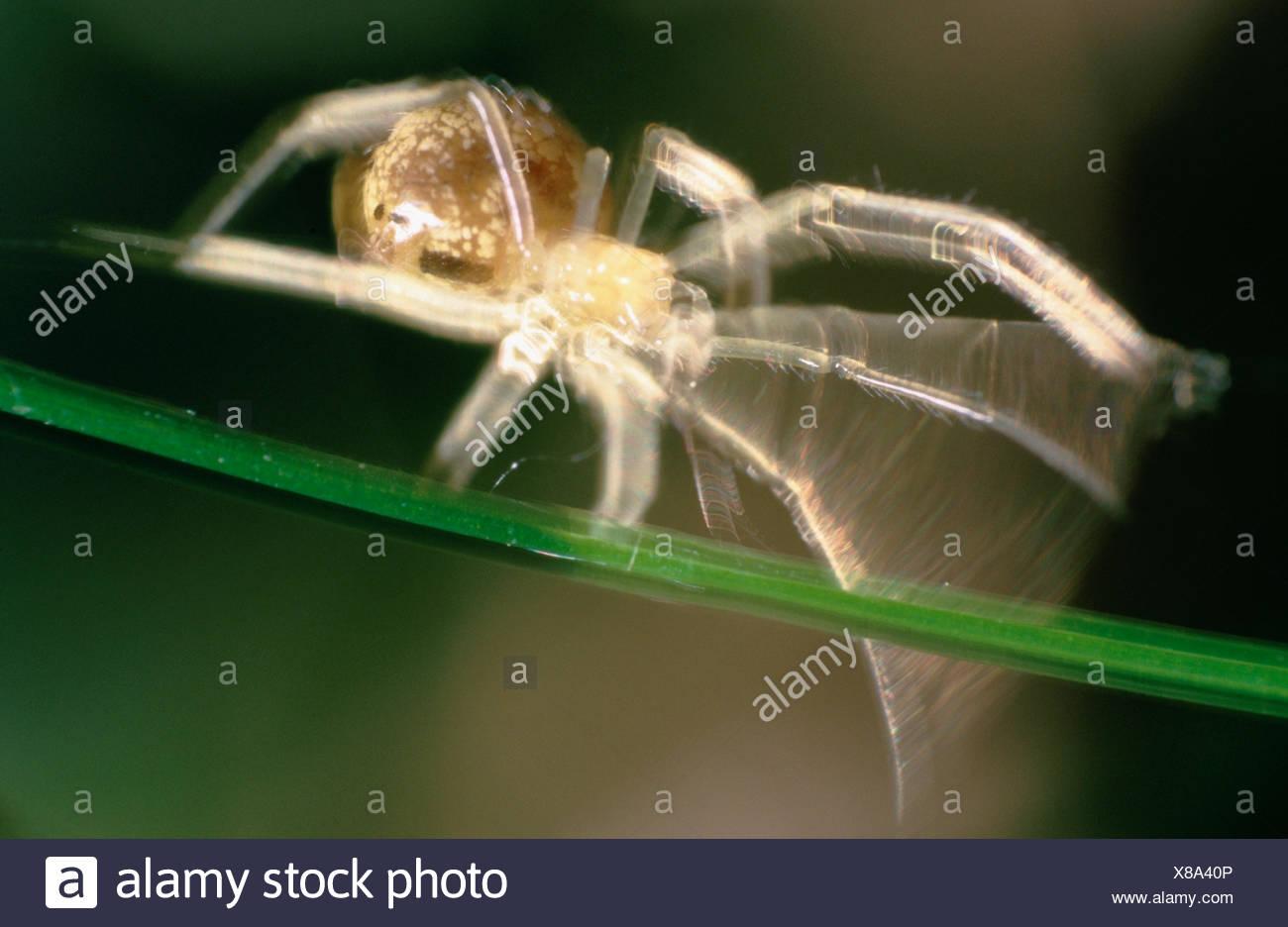 Spider (Theridiidae). Belgium - Stock Image
