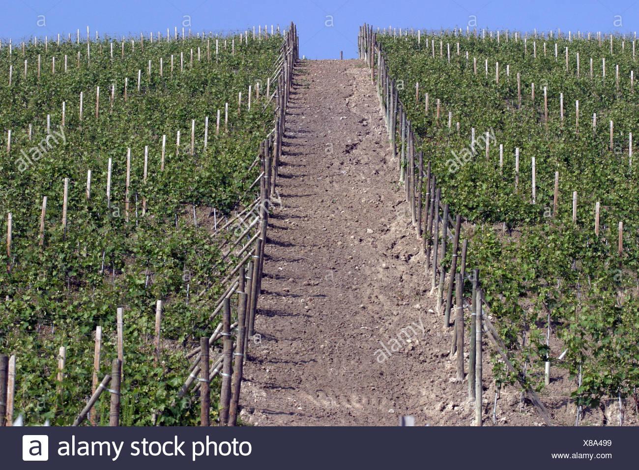Italy, Tuscany, Vineyard - Stock Image