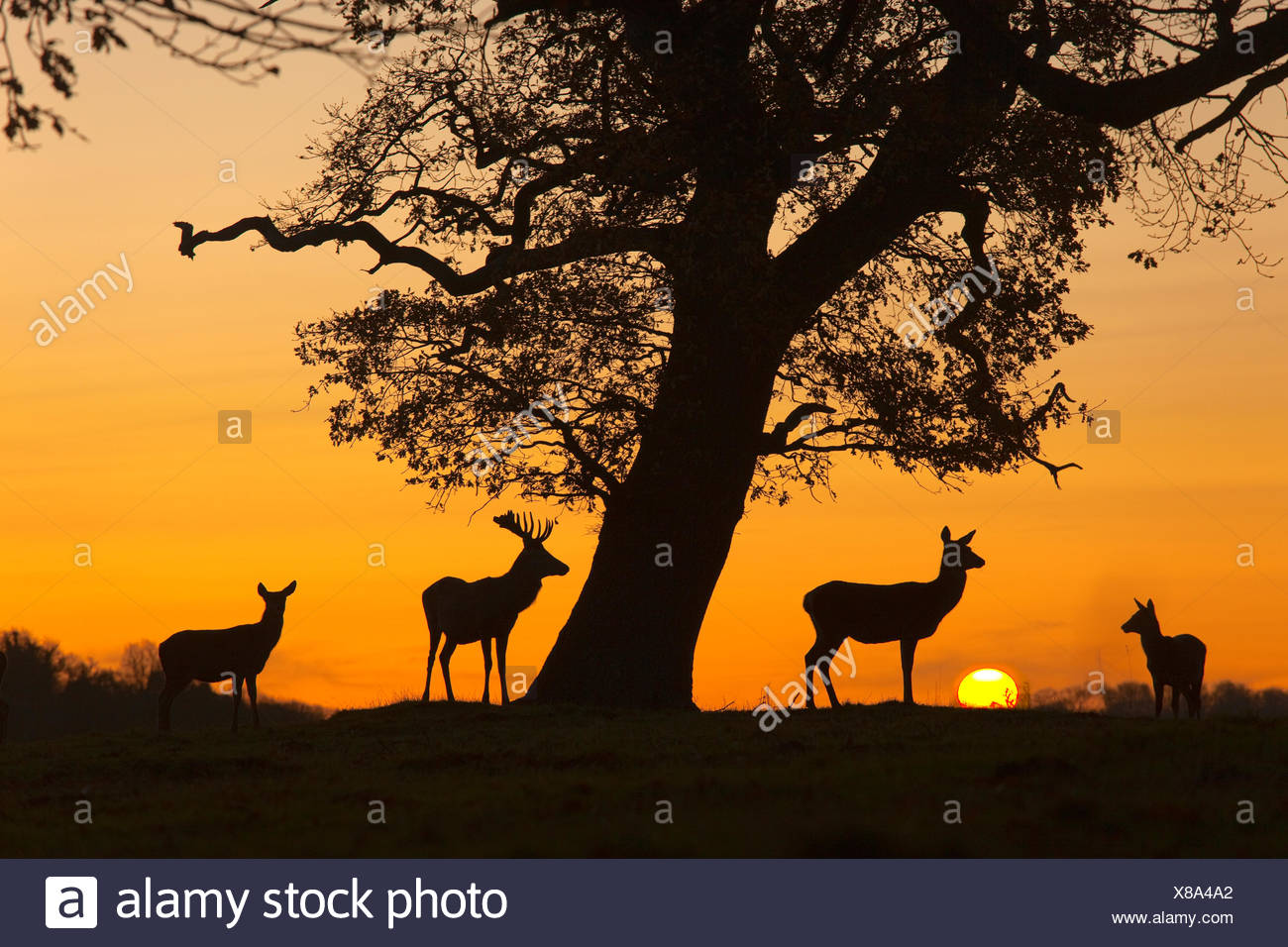 Red Deer - Cervus elaphus - Stock Image