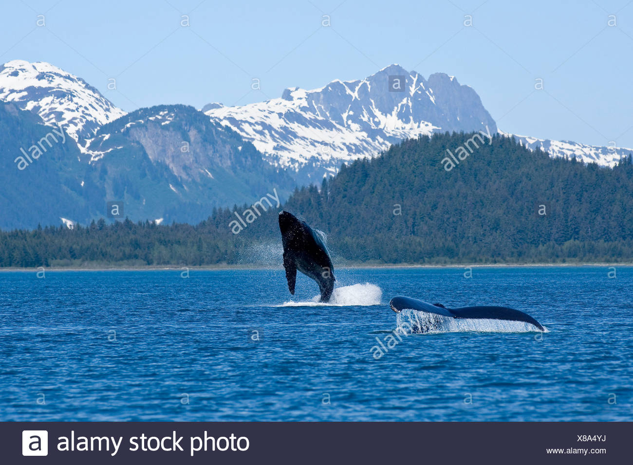 A humpback whale calf breaches as its mother swims at the surface nearby, Dundas Bay, Glacier Bay National Park, Alaska - Stock Image