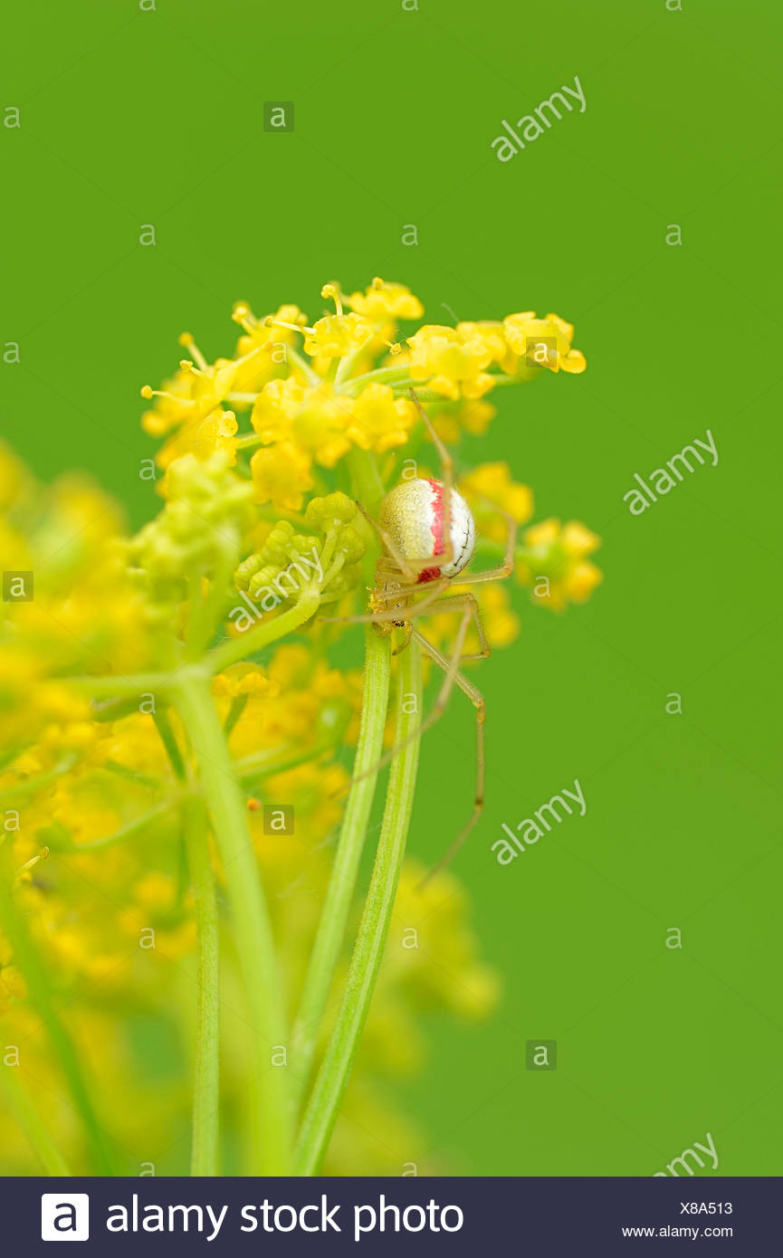 Comb-footed Spider - Stock Image