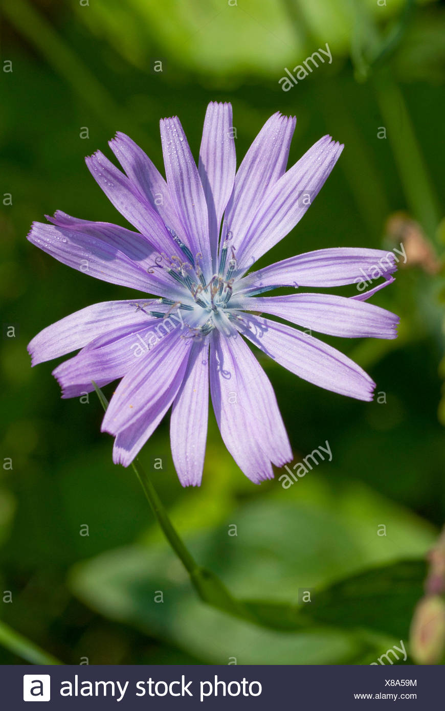 Hairless blue sow-thistle (Cicerbita plumieri), blooming, Germany - Stock Image
