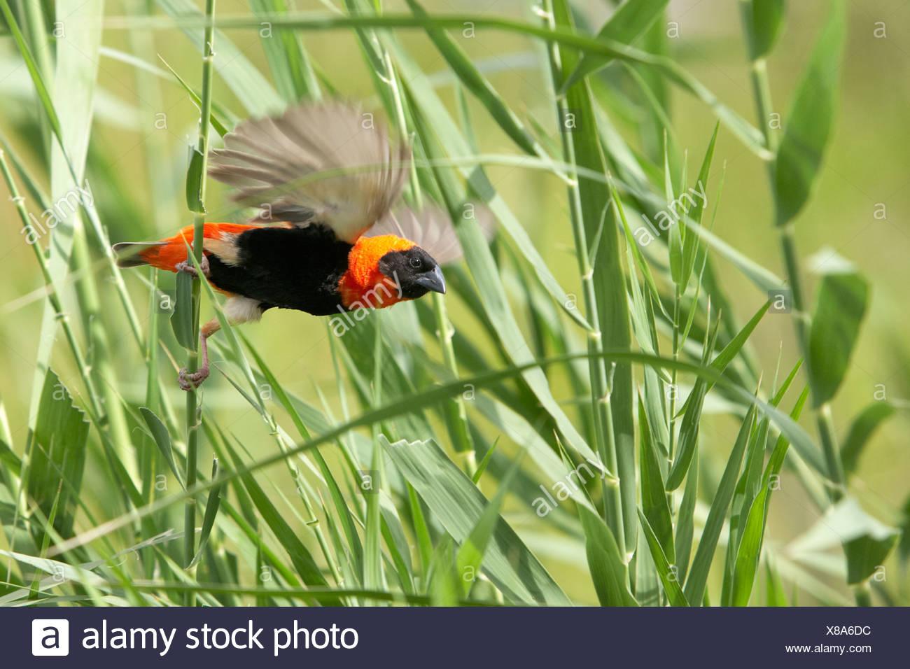 Red Bishop (Euplectes orix) taking flight off long piece of grass, Pilanesberg Game Reserve - Stock Image