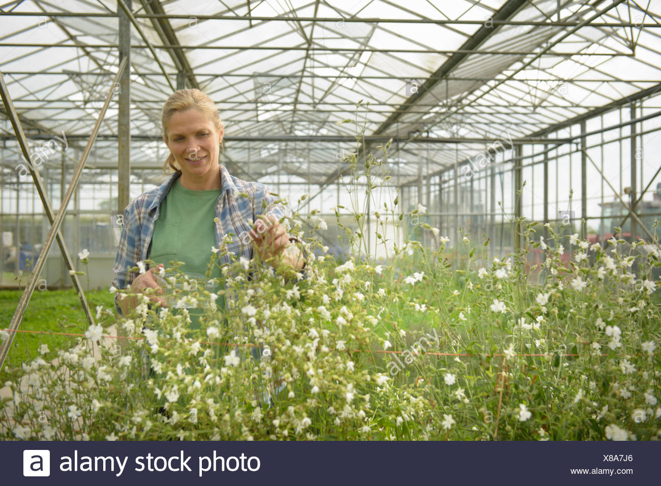 Worker inspecting edible flowers in greenhouse - Stock Image