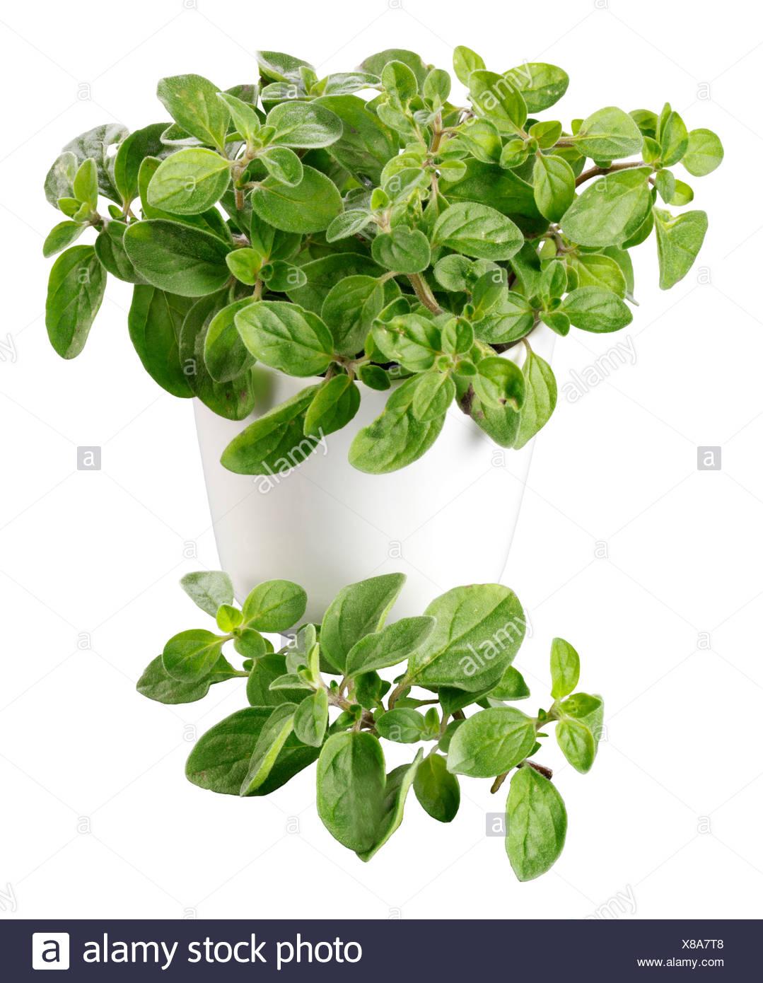OREGANO PLANT - Stock Image