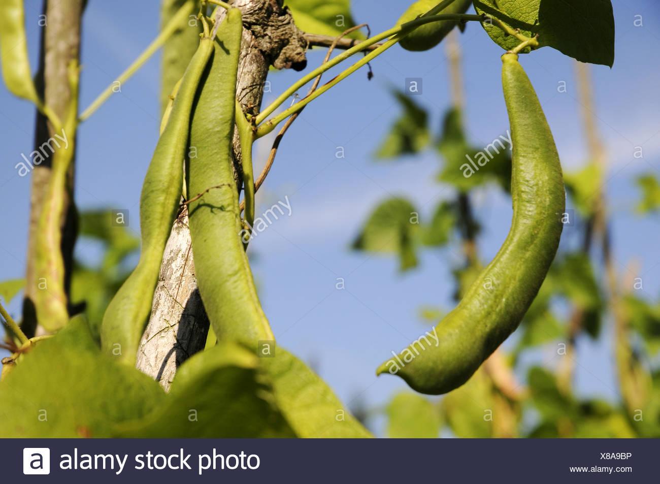 Harvest maturity beans - Stock Image